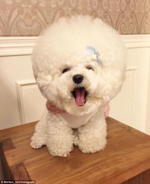 Гламурний собака з головою-кулею став інтернет-сенсацією - фото 1