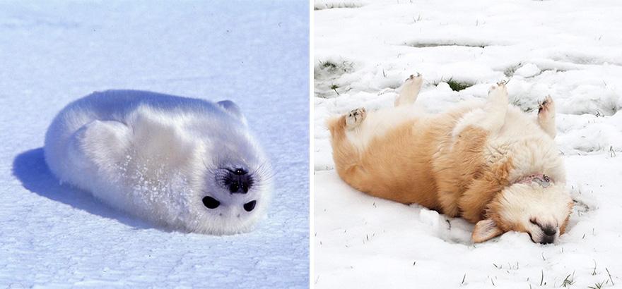 ТОП-5 кумедних тюленів, які надзвичайно схожі на собак - фото 5