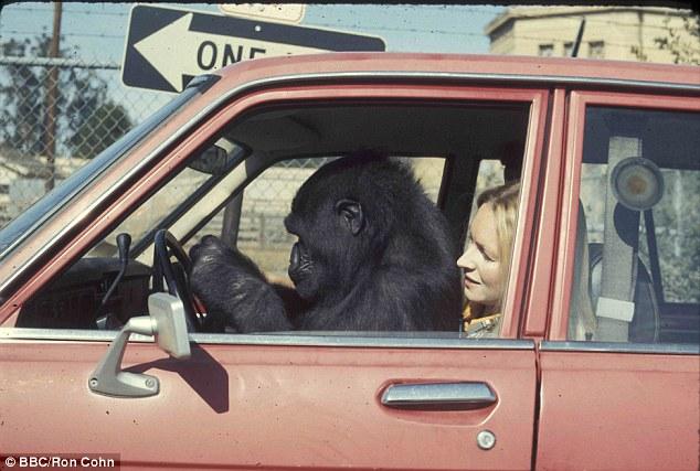 Історія 40-річної дружби між жінкою та горилою вразила Мережу - фото 3