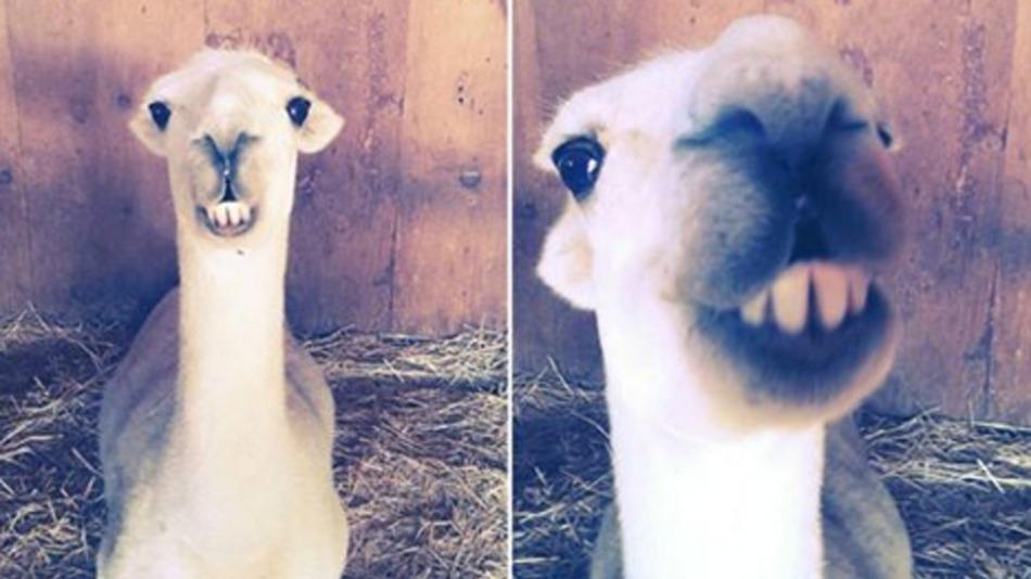 Як кумедна лама на прізвисько Йода знайшла домівку  - фото 1