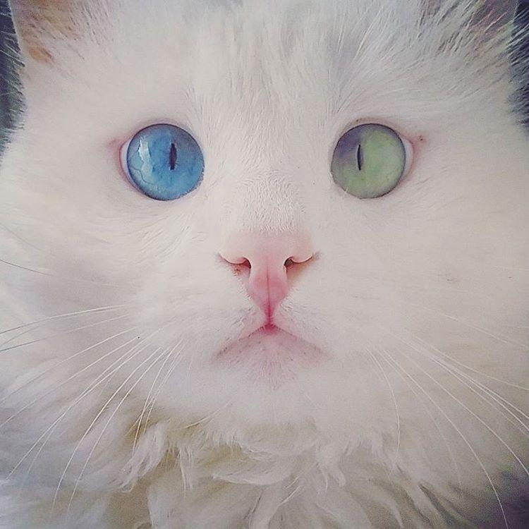 Мережу вразив білий кіт з очима різного кольору - фото 3