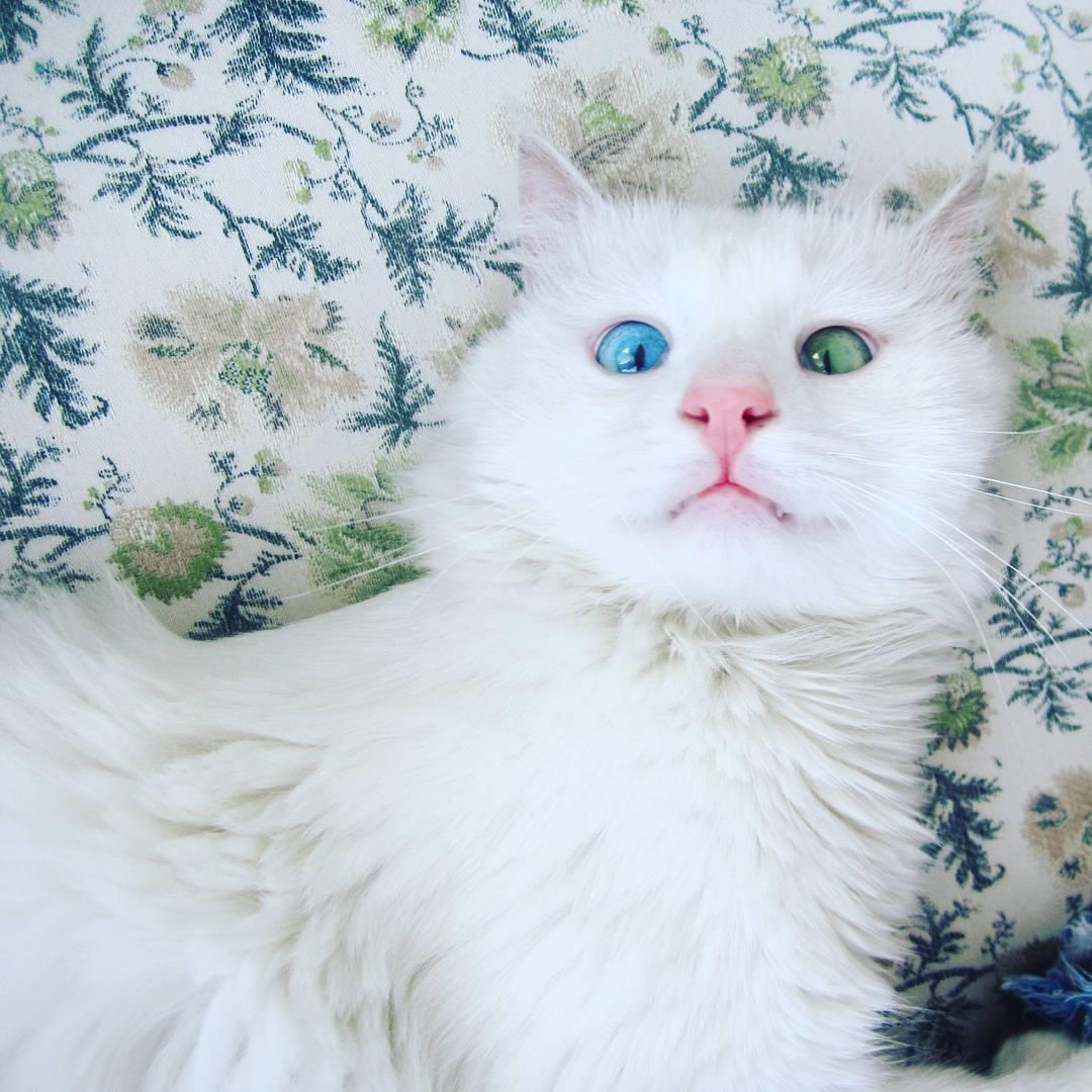 Мережу вразив білий кіт з очима різного кольору - фото 2