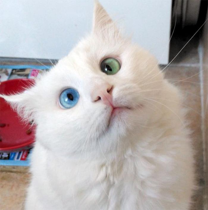 Мережу вразив білий кіт з очима різного кольору - фото 1