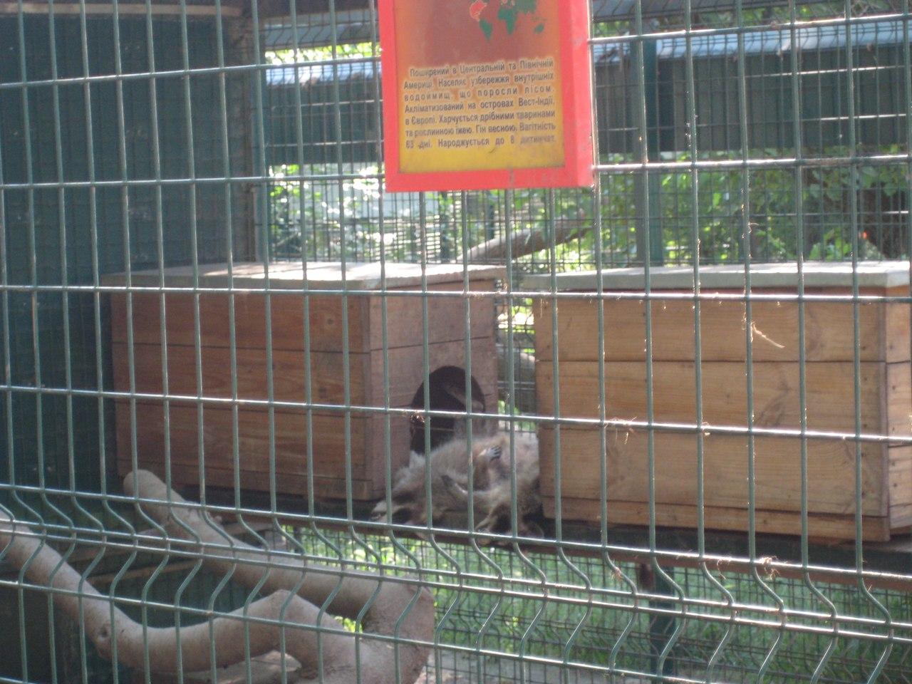 Як миколаївські єноти сплять та розважаютьсяв в спеку - фото 2