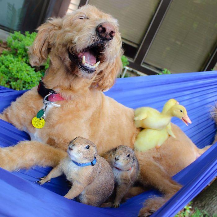 Як лучні собачки граються з цапами і каченятами - фото 6