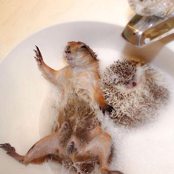 Як лучні собачки граються з цапами і каченятами - фото 3