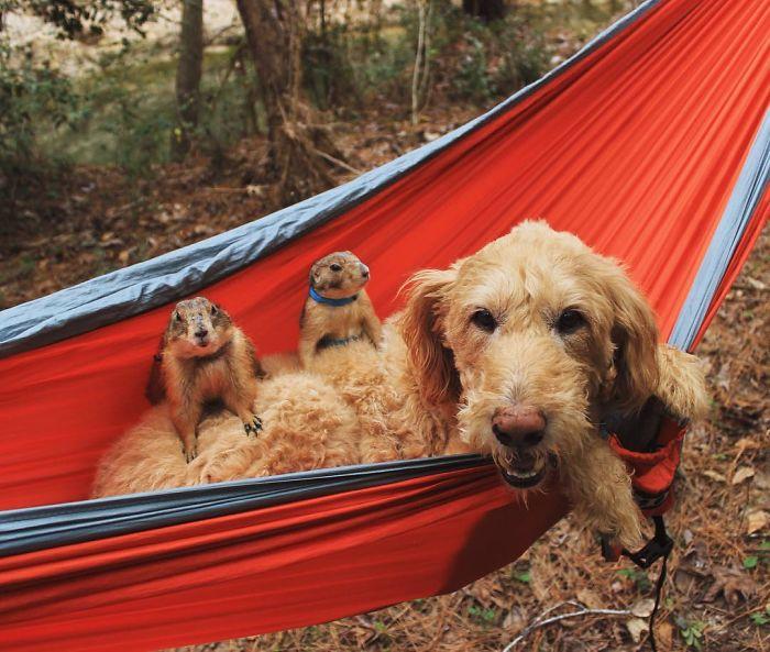 Як лучні собачки граються з цапами і каченятами - фото 5