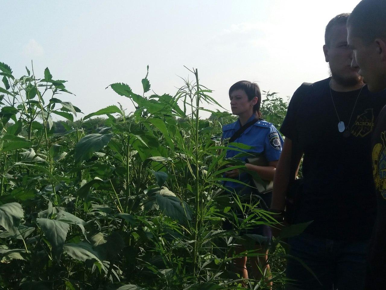 """Під Харковом """"азовці"""" знайшли сховану у кукурудзі коноплю  - фото 2"""