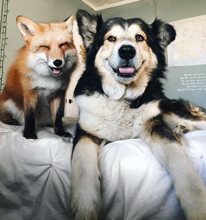 Як коллі прихистила котеня, а вівчарка стала охоронцем лиси - фото 4