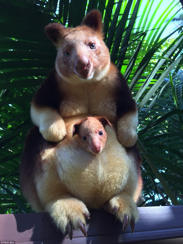 Крихітне кенгуреня у маминій сумці підкорило Мережу - фото 4