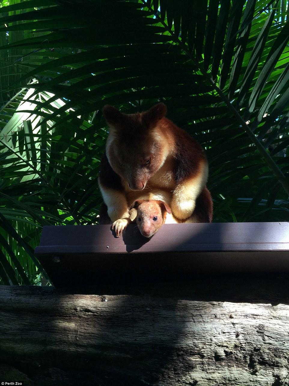 Крихітне кенгуреня у маминій сумці підкорило Мережу - фото 1