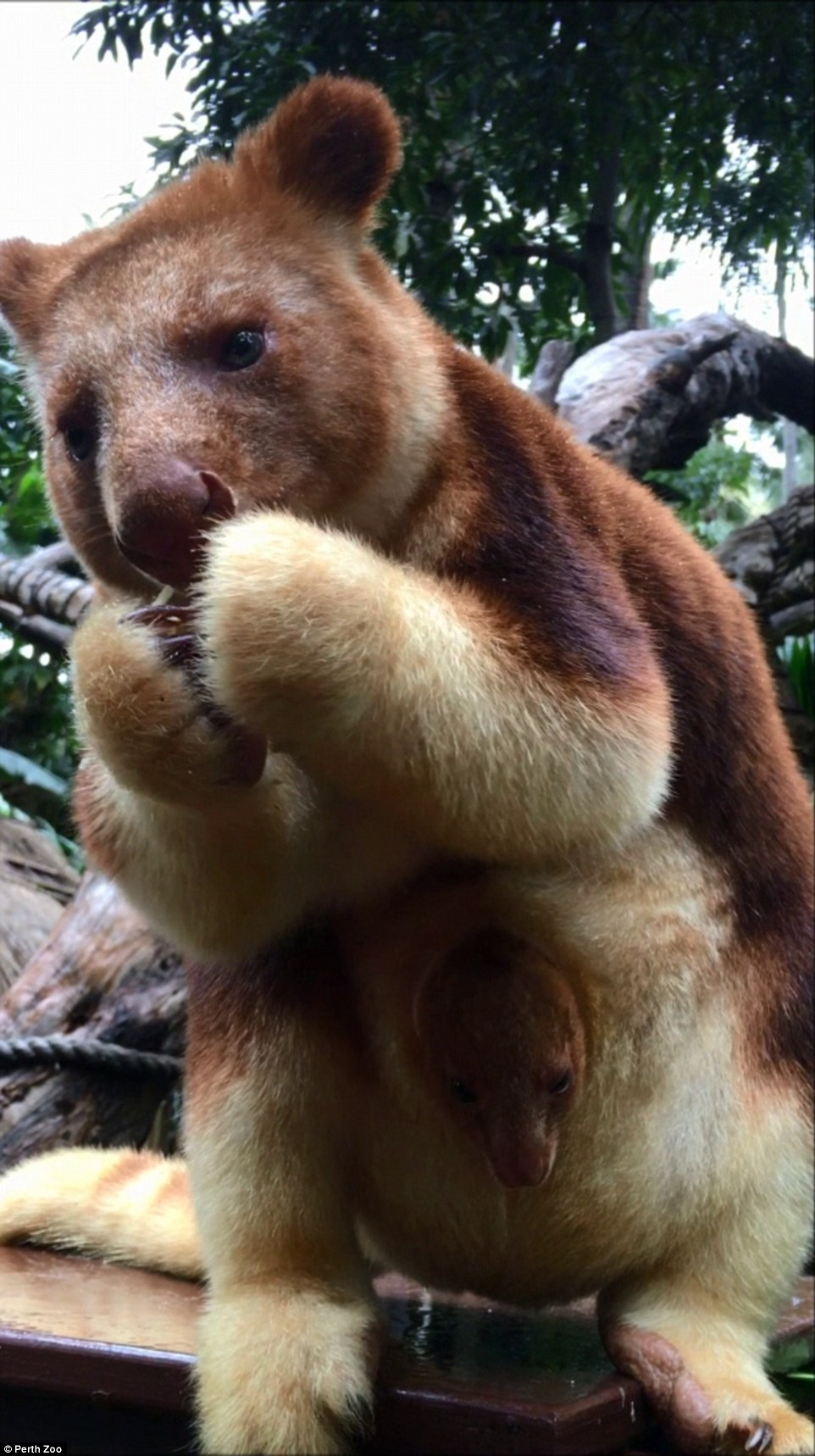 Крихітне кенгуреня у маминій сумці підкорило Мережу - фото 3
