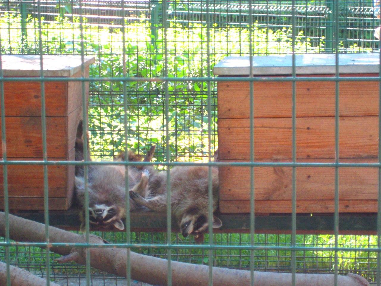 Як миколаївські єноти сплять та розважаютьсяв в спеку - фото 1