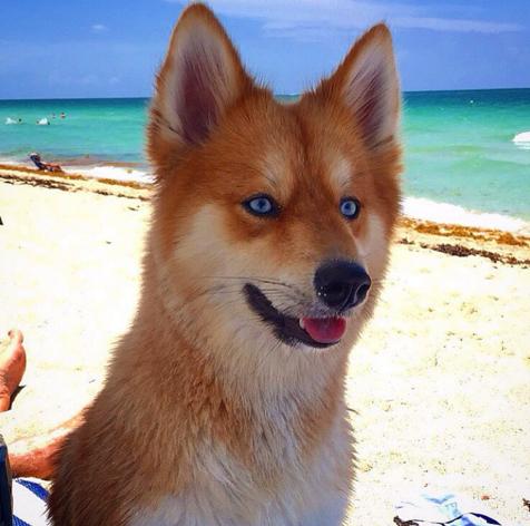 Як собака-лисиця стала зіркою Інтернету - фото 3