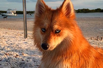 Як собака-лисиця стала зіркою Інтернету - фото 1