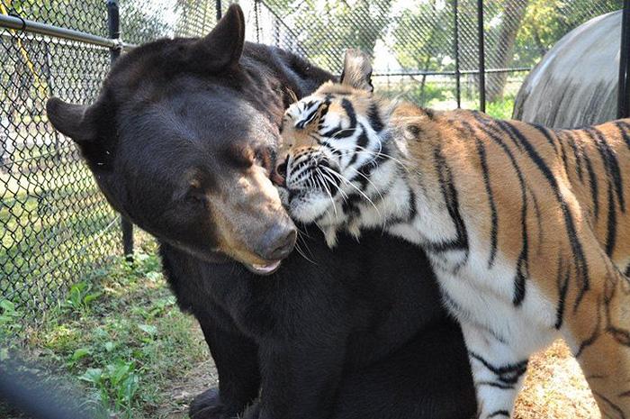 Любов у трьох: як ведмідь, лев та тигр 15 років живуть разом - фото 5