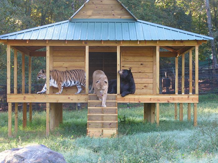 Любов у трьох: як ведмідь, лев та тигр 15 років живуть разом - фото 4