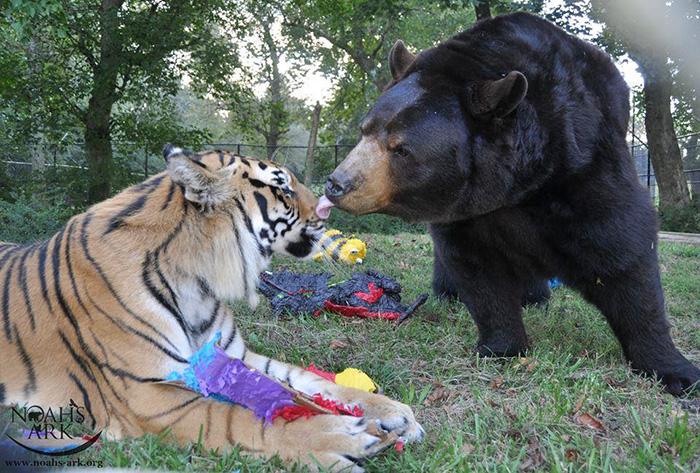Любов у трьох: як ведмідь, лев та тигр 15 років живуть разом - фото 3