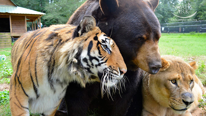 Любов у трьох: як ведмідь, лев та тигр 15 років живуть разом - фото 2