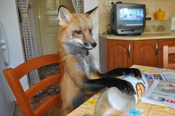 Як чоловік врятував лиса від смерті та що з нього виросло - фото 6