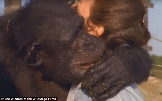 Як після 25-річної розлуки шимпанзе обіймали свою рятувальницю - фото 2