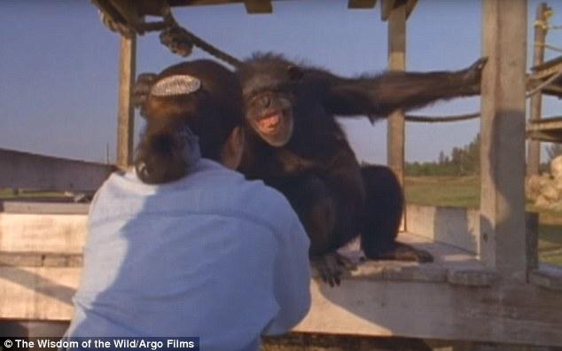 Як після 25-річної розлуки шимпанзе обіймали свою рятувальницю - фото 1