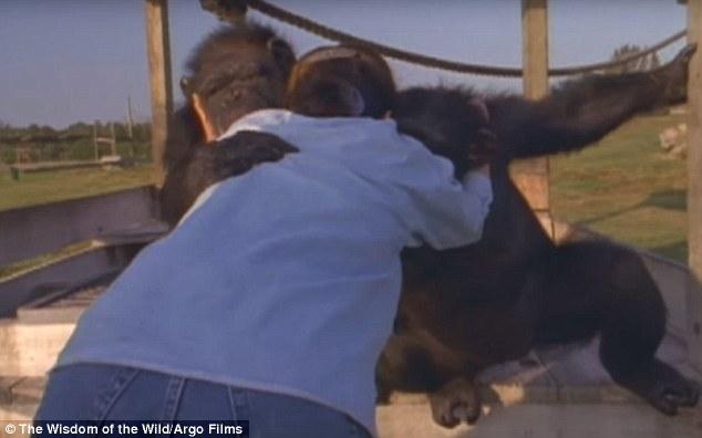 Як після 25-річної розлуки шимпанзе обіймали свою рятувальницю - фото 5