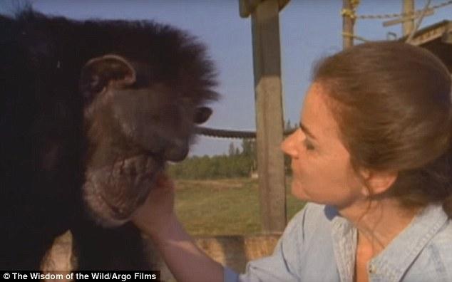 Як після 25-річної розлуки шимпанзе обіймали свою рятувальницю - фото 4