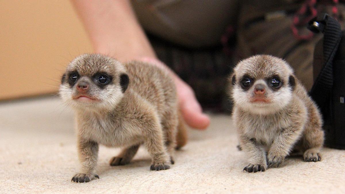 Як маленькі та милі сурикати досліджують навколишній світ  - фото 5