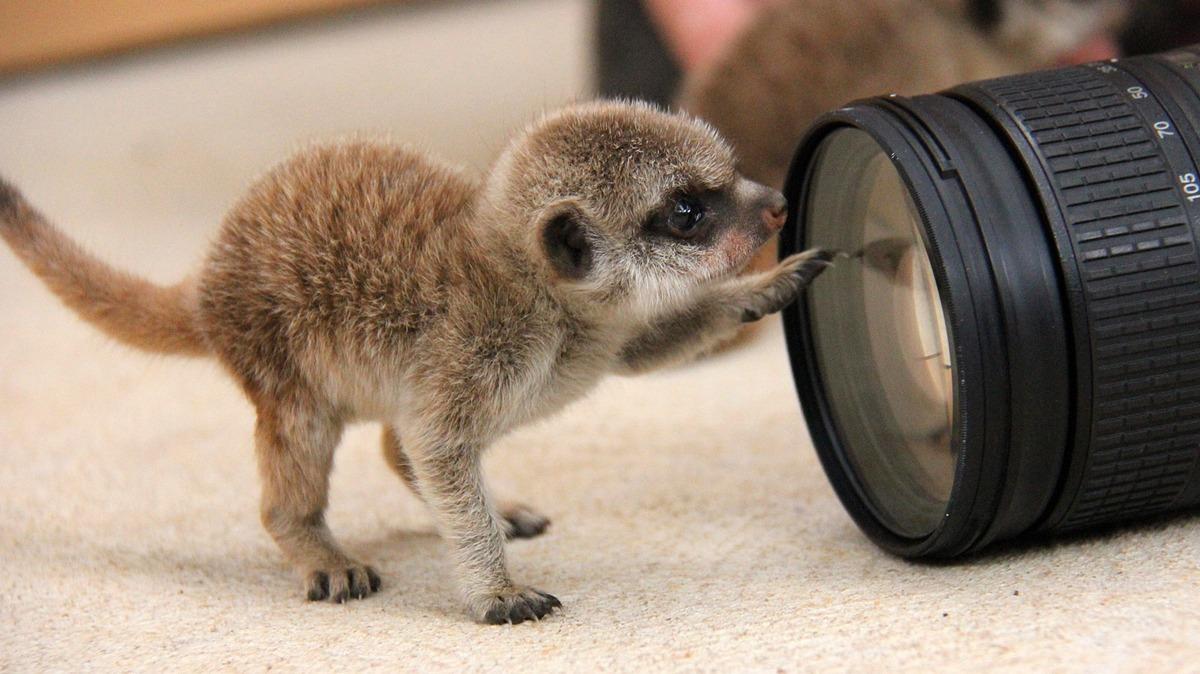 Як маленькі та милі сурикати досліджують навколишній світ  - фото 4