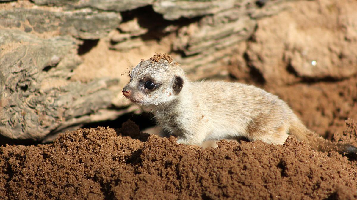 Як маленькі та милі сурикати досліджують навколишній світ  - фото 2
