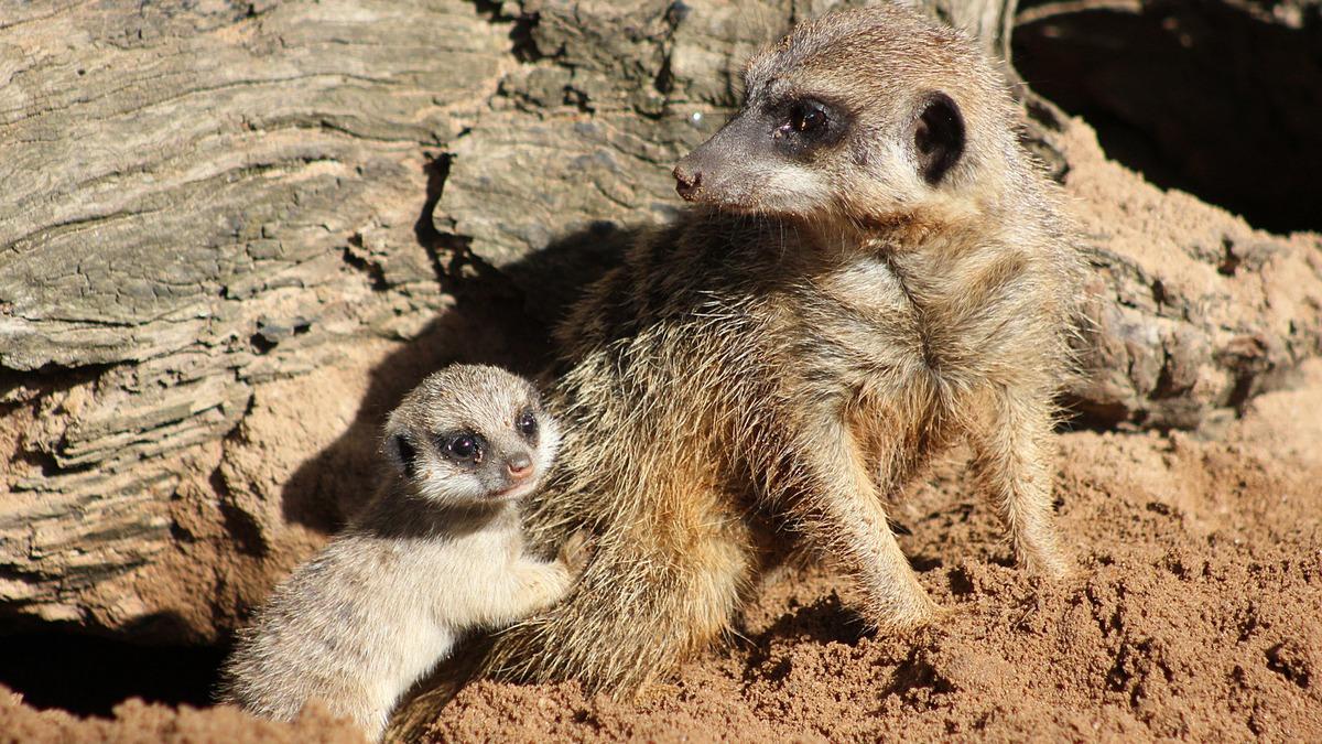 Як маленькі та милі сурикати досліджують навколишній світ  - фото 1