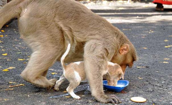 Як мавпа всиновила цуценя - фото 6