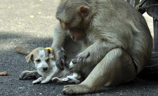 Як мавпа всиновила цуценя - фото 1