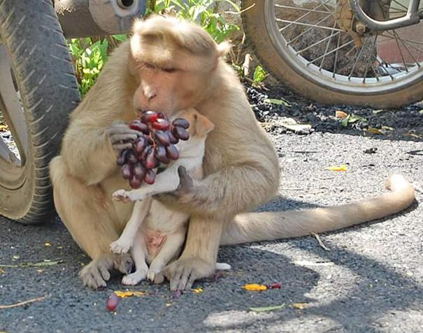 Як мавпа всиновила цуценя - фото 5