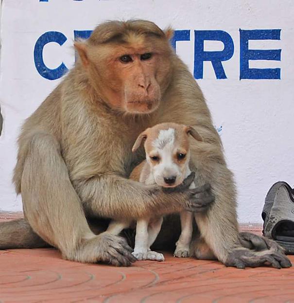 Як мавпа всиновила цуценя - фото 4