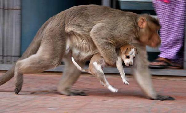 Як мавпа всиновила цуценя - фото 2