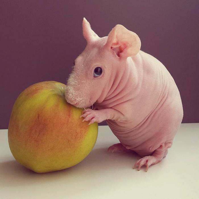 Як гола гвінейська свинка позувала з полуничкою  - фото 3