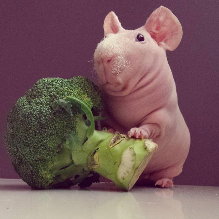 Як гола гвінейська свинка позувала з полуничкою  - фото 4