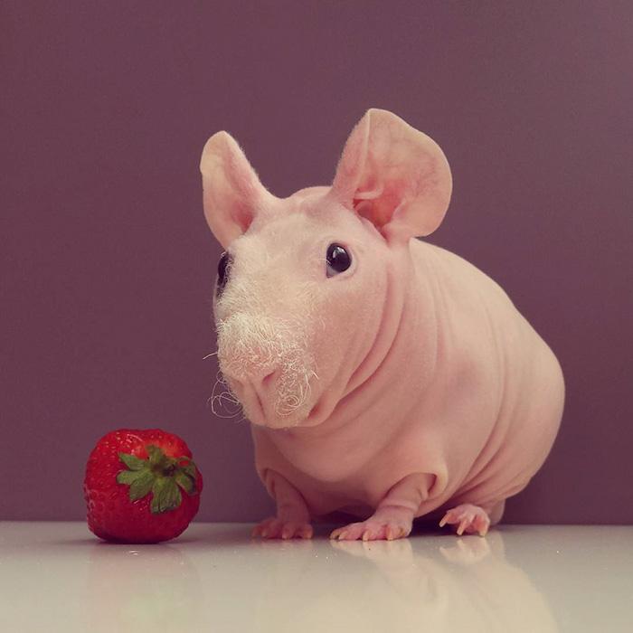 Як гола гвінейська свинка позувала з полуничкою  - фото 1