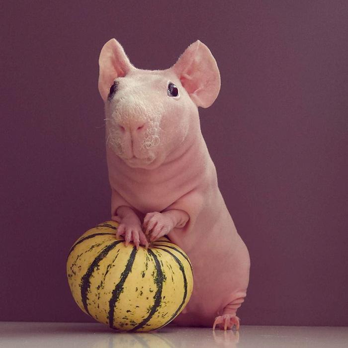 Як гола гвінейська свинка позувала з полуничкою  - фото 5