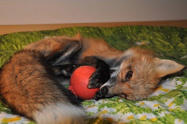 Як чоловік врятував лиса від смерті та що з нього виросло - фото 2