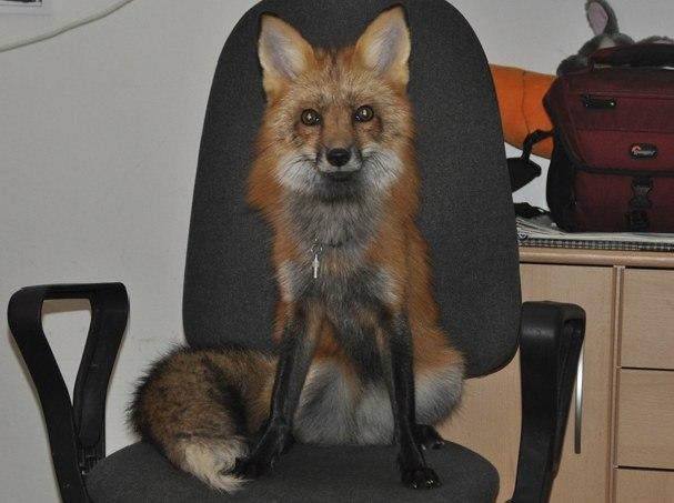 Як чоловік врятував лиса від смерті та що з нього виросло - фото 1