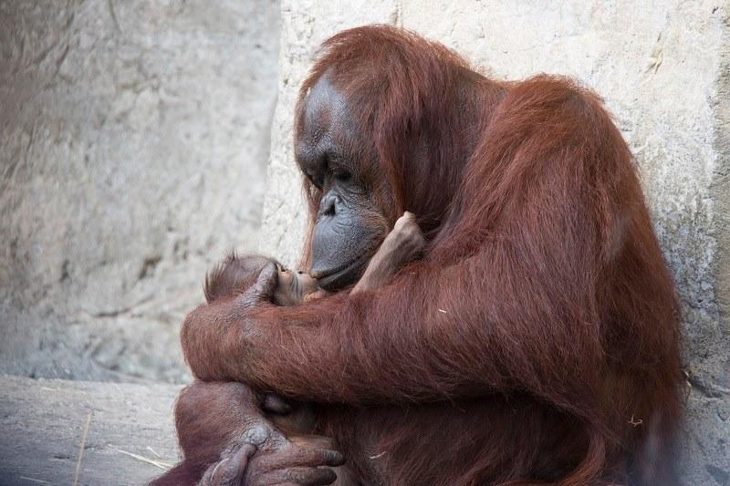 Американський зоопарк похизувався крихітним орангутангом Сантою - фото 1