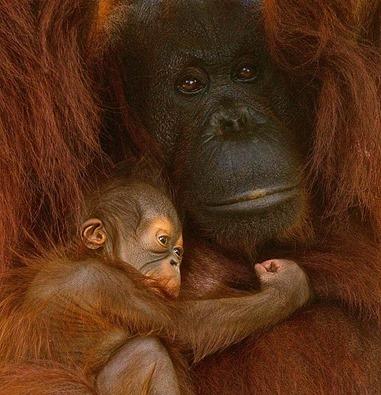 Американський зоопарк похизувався крихітним орангутангом Сантою - фото 2