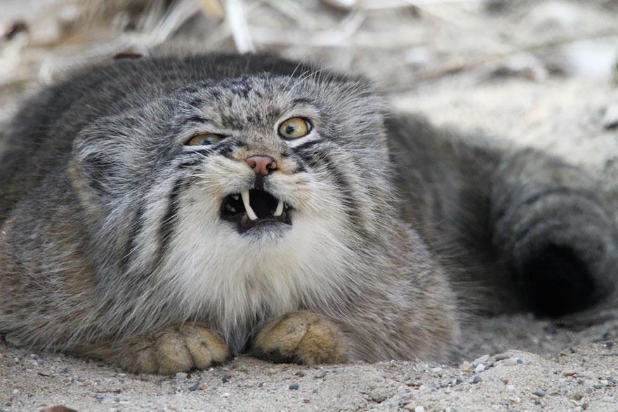Рідкісні дикі коті, яких ви ніколи не бачили ― фото 17