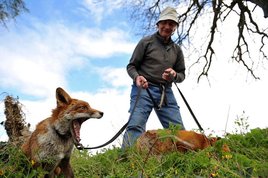 Як чоловік врятував лисиць, а вони сіли йому на голову  - фото 4