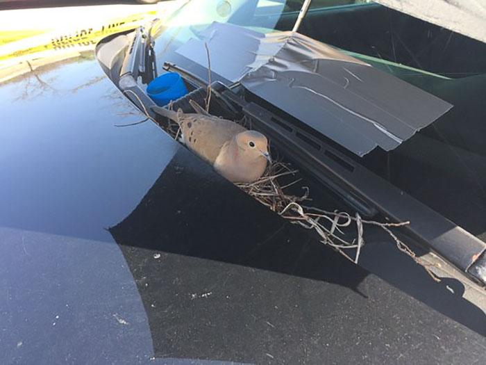 Як голуби звили гніздо на авто американських копів - фото 1