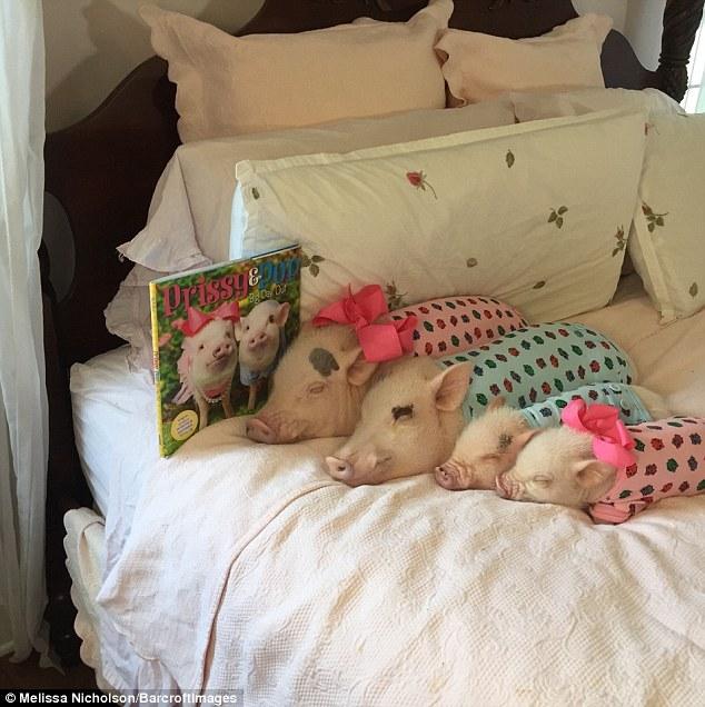 Як гламурні свинки фанів завойовували - фото 1