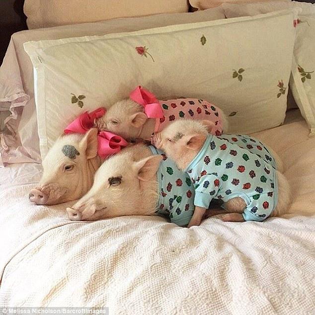 Як гламурні свинки фанів завойовували - фото 2